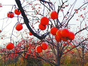 龄长,上百年仍果实累累;树冠大,产量高,一棵大树产量高达3000至
