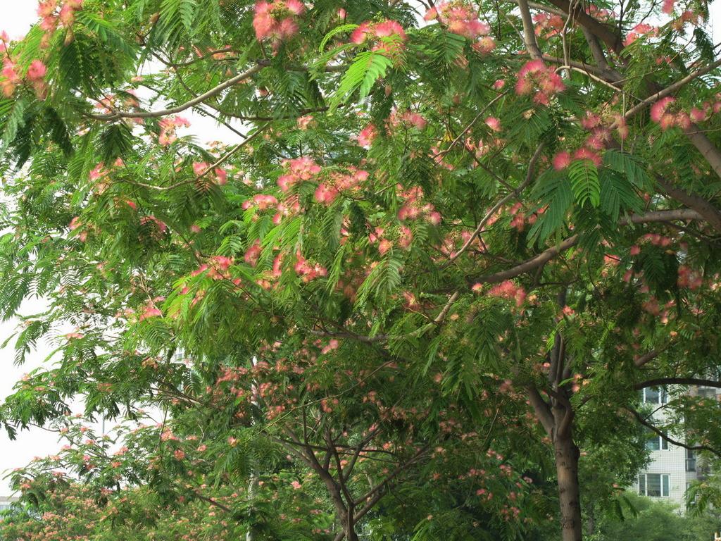 合欢树合欢花