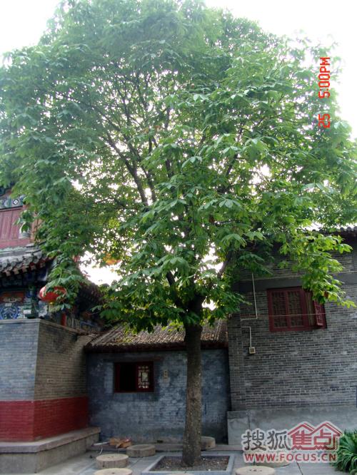洛阳白马寺菩提树的说明-北京六处的 菩提树
