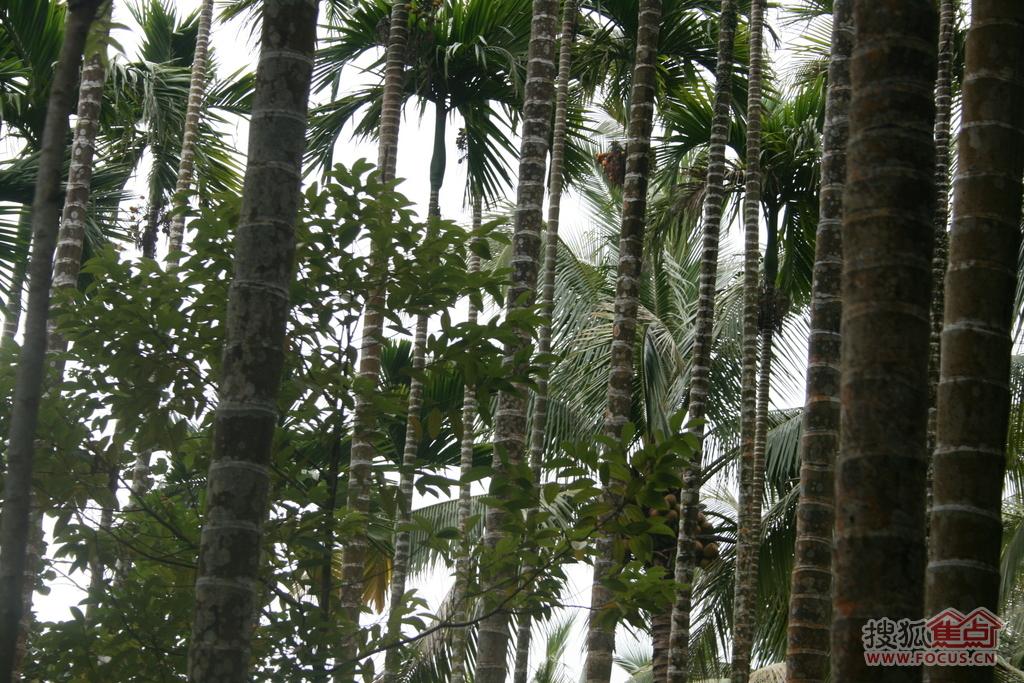 高高树上结槟榔,槟榔今年结果的地方,明年不会再结,所以就一节节长高