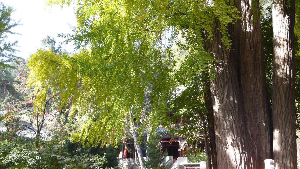 品读北京 戒台寺的古松