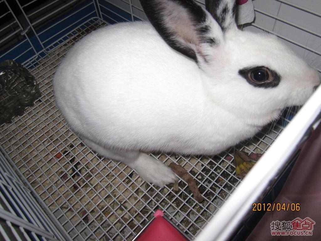 图:为可爱熊猫兔寻找有爱心的主人-有兔笼,全套饲养工具,兔粮