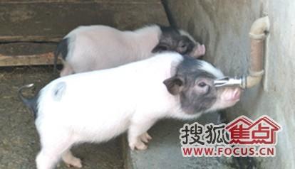 图:看看可爱的小小香猪