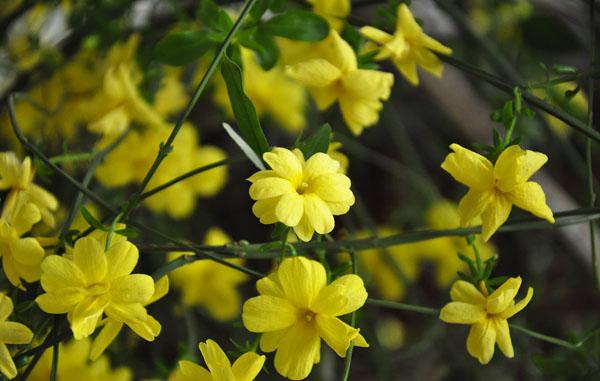 迎春花的养殖方法 支招教你怎么样迎春花