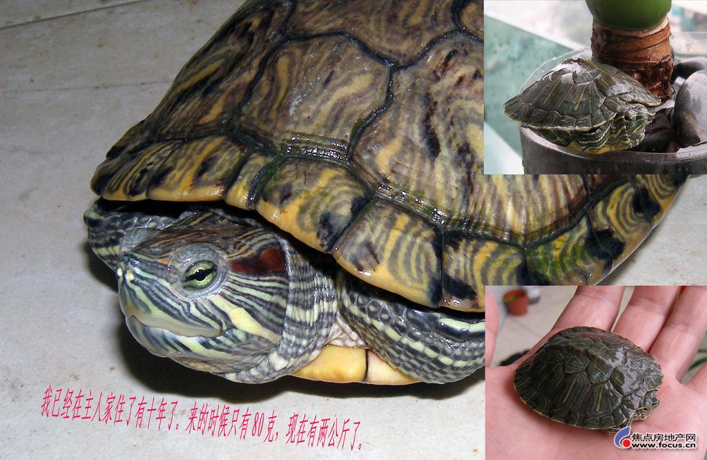 我家养的小乌龟