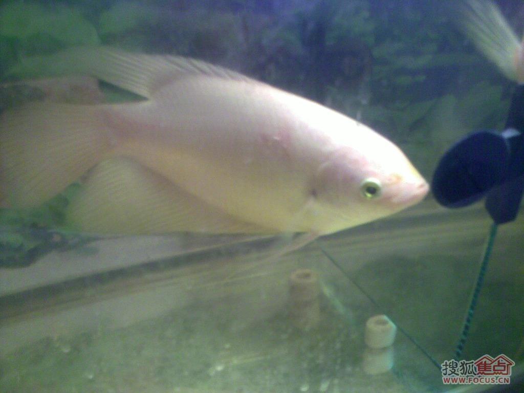 漂亮招财鱼身上的红斑病终于好了,特与邻居鱼友共享经验 仅高清图片