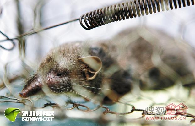 新城新物种 长着 猪鼻子 的老鼠图片
