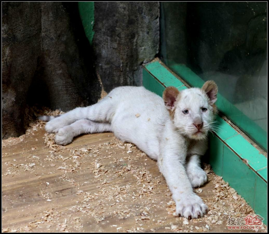 《寻找香江野生动物世界犀利虎》之彪马虎