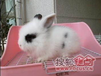 图:兔兔之家——可爱,漂亮的宠物兔