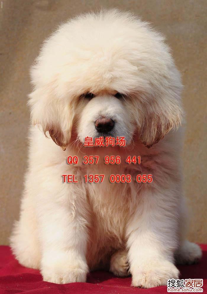 哪里有卖藏獒 藏獒价格 小藏獒多少钱一只 -哪里有卖藏獒 藏獒价格 小图片