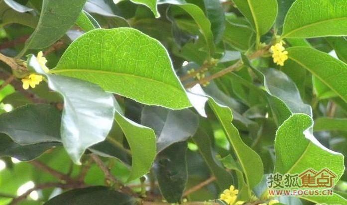 > 又到桂花飘香时 杭州赏桂花全攻略   杭州植物园的桂花紫薇园占地4.