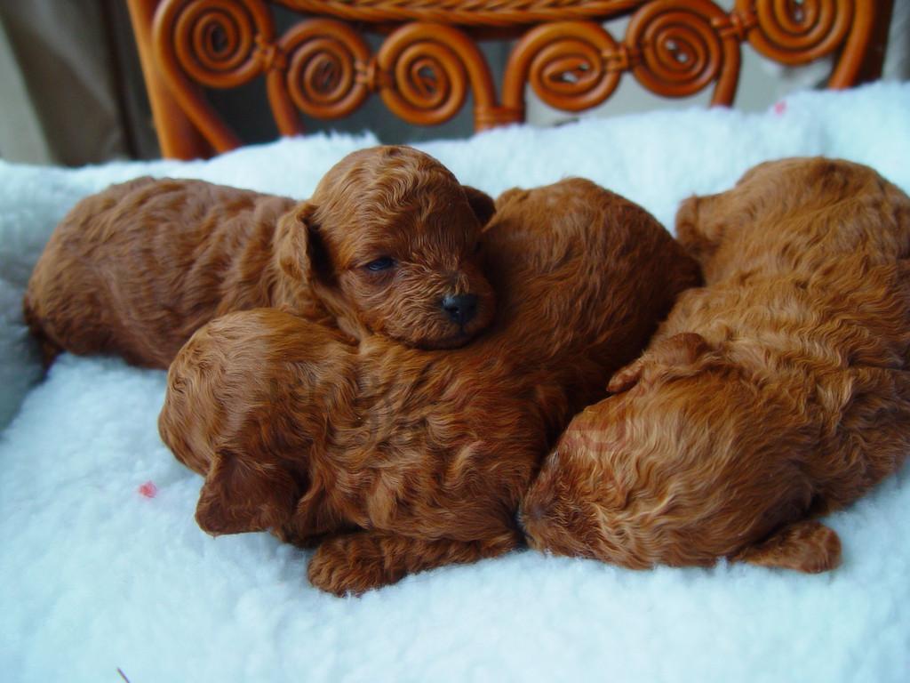 > 泰迪狗狗生狗宝宝了,有喜欢的吗?