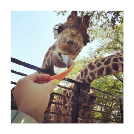 八卦娱乐论坛 > 长颈鹿真是一种天然呆萌的动物