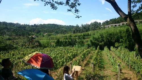 百利酒庄葡萄园高清图片
