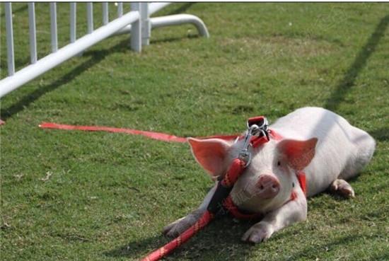 可爱的小香猪说:求拍照!求带走!