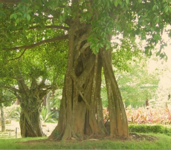 海南花梨木树叶