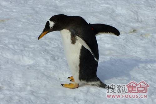 企鹅们互相嬉戏(图三)