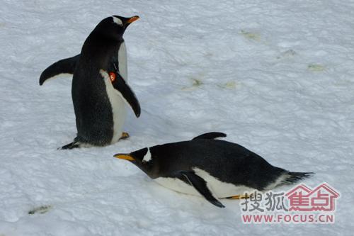 企鹅们互相嬉戏(图二)