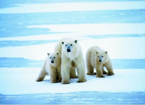 海象,貂熊和水果,北极熊,灰熊,海豹,兔子,海狸和鱼类等野生动物,以及水貂可以鼬鼠吗图片