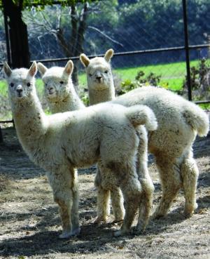 昨天上午,常州淹城野生动物世界于去年降生的6只小羊驼,在爸爸妈妈的