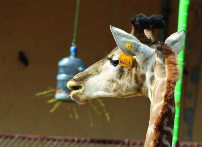 动物园趣事:给长颈鹿量身高需美食诱惑