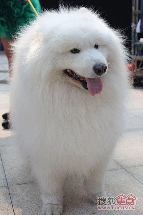 价值百万的纯种藏獒,名贵的阿拉斯加雪橇犬,可爱萌宠的泰迪犬,英姿