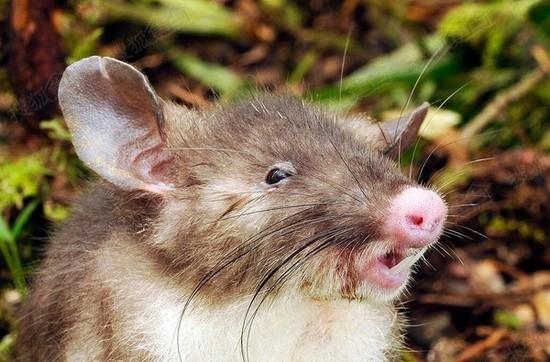老鼠长着猪鼻子!