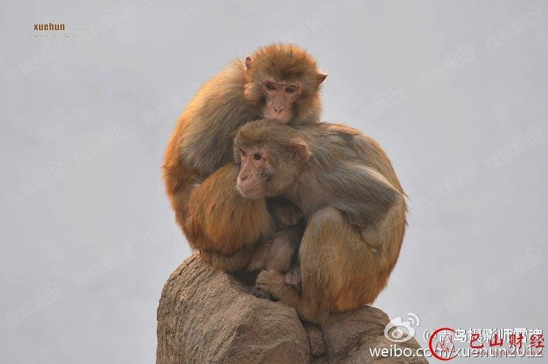 青岛动物园猴子抱团取暖 引游客笑声不断