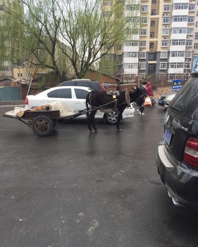 秦皇岛马路上现驴拉车 这要这么贴条?
