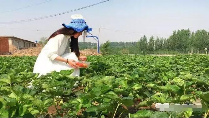 秦皇岛海阳镇第四届大地草莓节将于5月27日来袭