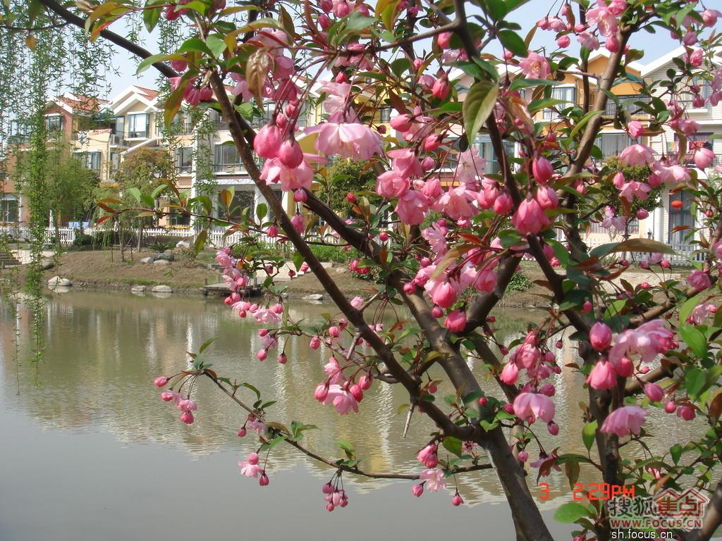 科:蔷薇科rosaceae,属:苹果属malus     【简介】     垂丝海棠花色
