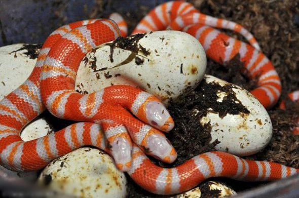 五头蛇_实拍震惊世界的五头蛇罕见照片!