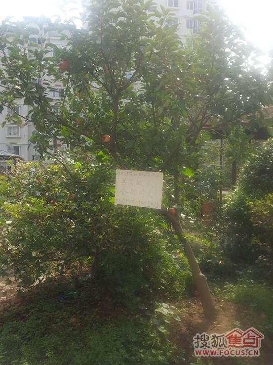 保安--两年来,园区内景观苹果树上全部苹果一夜被偷光