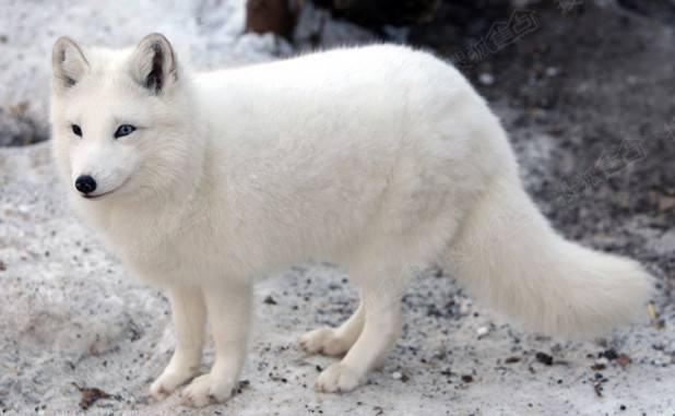 九峰森林动物园里也有着最美丽最好看的九尾白狐